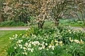 GRAVETYE MANOR SUSSEX: SPRING, APRIL, COUNTRY, GARDEN, DAFFODILS AND AMELANCHIER IN THE ORCHARD