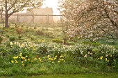GRAVETYE MANOR SUSSEX: SPRING, APRIL, COUNTRY, GARDEN, DAFFODILS, LEUCOJUM AND AMELANCHIER IN THE ORCHARD, MANOR HOUSE BEHIND. FOG, FOGGY, MIST, MISTY