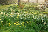 GRAVETYE MANOR SUSSEX: SPRING, APRIL, COUNTRY, GARDEN, DAFFODILS, LEUCOJUM AND AMELANCHIER IN THE ORCHARD