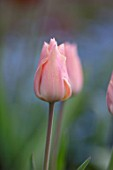 GRAVETYE MANOR SUSSEX: CLOSE UP OF APRICOT FLOWERS OF TULIP - TULIPA APRICOT IMPRESSION. BULBS