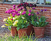 MORTON HALL, WORCESTERSHIRE: TULIPS IN TERRACOTTA CONTAINERS, APRIL, SPRING, BULBS, GRAVEL. TULIPA NEGRITA, VERONA, PAUL SCHERER, PURPLE, FLOWERS, BLOOMS