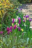 MORTON HALL, WORCESTERSHIRE: TULIPS IN THE BORDER IN SOUTH GARDEN, FOUNTAIN BEHIND. WATER, BULBS, SPRING, APRIL, TULIPA SAPPORO, BLUE DIAMOND, PURPLE DREAM