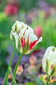 MORTON HALL, WORCESTERSHIRE: CLOSE UP PORTRAIT OF RED, WHITE, GREEN FLOWERS OF TULIP - TULIPA FLAMING SPRING GREEN, PETALS, BLOOMS, BLOOMING, FLOWERING, BULBS