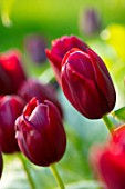 MORTON HALL, WORCESTERSHIRE: CLOSE UP PORTRAIT OF DARK, RED FLOWERS OF TULIP - TULIPA NATIONAL VELVET, PETALS, BLOOMS, BLOOMING, FLOWERING, BULBS
