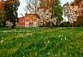 MORTON HALL, WORCESTERSHIRE: THE MEADOW AT SUNRISE. WHITE FLOWERS OF PRUNUS FRAGRANT CLOUD, SHIZUKA, SCENTED, APRIL, SPRING, TREES, DAFFODILS, NARCISSUS, NARCISSI