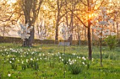 MORTON HALL, WORCESTERSHIRE: THE MEADOW AT SUNRISE. WHITE FLOWERS OF PRUNUS FRAGRANT CLOUD, SHIZUKA, SCENTED, APRIL, SPRING, TREES, DAFFODILS, NARCISSUS, NARCISSI, BENCH