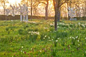 MORTON HALL, WORCESTERSHIRE: THE MEADOW AT SUNRISE. WHITE FLOWERS OF PRUNUS FRAGRANT CLOUD, SHIZUKA, SCENTED, APRIL, SPRING, TREES, DAFFODILS, NARCISSI, BENCH, MONOPTEROS