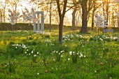 MORTON HALL, WORCESTERSHIRE: THE MEADOW AT SUNRISE. WHITE FLOWERS OF PRUNUS FRAGRANT CLOUD, SHIZUKA, SCENTED, APRIL, SPRING, TREES, DAFFODILS, NARCISSI, MONOPTEROS