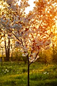 MORTON HALL, WORCESTERSHIRE: THE MEADOW AT SUNRISE. WHITE FLOWERS OF PRUNUS FRAGRANT CLOUD, SHIZUKA, SCENTED, APRIL, SPRING, TREES