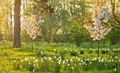 MORTON HALL, WORCESTERSHIRE: THE MEADOW AT SUNRISE. WHITE FLOWERS OF PRUNUS FRAGRANT CLOUD, SHIZUKA, SCENTED, APRIL, SPRING, TREES, DAFFODILS, NARCISSI