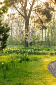 MORTON HALL, WORCESTERSHIRE: THE MEADOW AT SUNRISE. WHITE FLOWERS OF PRUNUS FRAGRANT CLOUD, SHIZUKA, SCENTED, APRIL, SPRING, TREES, DAFFODILS, NARCISSI, CURVED, DRIVE