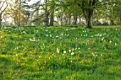 MORTON HALL, WORCESTERSHIRE: THE MEADOW IN APRIL, SPRING, SNAKES HEAD FRITILLARY, FRITILLARIA MELEAGRIS, DAFFODILS, NARURALISED, DRIFTS