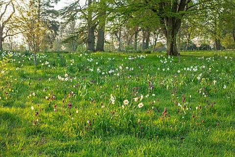 MORTON_HALL_WORCESTERSHIRE_THE_MEADOW_IN_APRIL_SPRING_SNAKES_HEAD_FRITILLARY_FRITILLARIA_MELEAGRIS_D