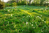 MORTON HALL, WORCESTERSHIRE: THE MEADOW IN APRIL, SPRING, SNAKES HEAD FRITILLARY, FRITILLARIA MELEAGRIS, DAFFODILS, NARURALISED, DRIFTS, PATHS, GRASS, LAWNS