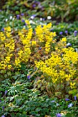 MORTON HALL, WORCESTERSHIRE: YELLOW FLOWERS OF EPIMEDIUM X VERSICOLOR SULPHUREUM, PERENNIALS, SHADE, SHADY