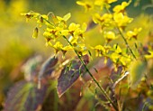 MORTON HALL, WORCESTERSHIRE: CLOSE UP OF YELLOW FLOWERS OF EPIMEDIUM X VERSICOLOR SULPHUREUM, PERENNIALS, SHADE, SHADY