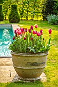 THE OLD VICARAGE, WORMLEIGHTON, WARWICKSHIRE: CONTAINERS FILLED WITH TULIPS, SWIMMING POOL. SPRING, APRIL, LAWN, CLIPPED TOPIARY BOX, APRICOT IMPRESSION, JAN REUS, AYAAN, BURGUNDY