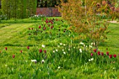 THE OLD VICARAGE, WORMLEIGHTON, WARWICKSHIRE: MEADOW WITH GRASS SQUARES, NATURALISTIC PLANTING, TULIPS, NARCISSI, CAMASSIA CAMASSIAS, BURGUNDY, BLACK JACK