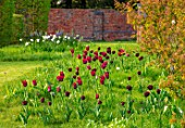 THE OLD VICARAGE, WORMLEIGHTON, WARWICKSHIRE: MEADOW WITH GRASS SQUARES, NATURALISTIC PLANTING OF TULIPS, NARCISSI, CAMASSIAS, TULIPA BURGUNDY, BLACK JACK