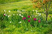 THE OLD VICARAGE, WORMLEIGHTON, WARWICKSHIRE: MEADOW WITH GRASS SQUARES, NATURALISTIC PLANTING OF TULIPS, NARCISSI, TULIPA BURGUNDY AND BLACK JACK