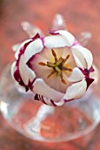 THE OLD VICARAGE, WORMLEIGHTON, WARWICKSHIRE: CLOSE UP OF RED AND WHITE FLOWER OF TULIP- REMS FAVOURITE IN GLASS VASE, CONTAINER. BULBS