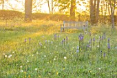 MORTON HALL, WORCESTERSHIRE: THE MEADOW IN SPRING WITH WILDFLOWERS, WOODEN BENCH, CAMASSIA LEICHTLINII CAERULEA, CAMASSIA BLUE HEAVEN, DAWN, SUNRISE, MEADOWS, PARKLAND