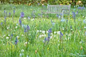 MORTON HALL, WORCESTERSHIRE: THE MEADOW IN SPRING WITH WILDFLOWERS, CAMASSIA LEICHTLINII CAERULEA, CAMASSIA BLUE HEAVEN, DAWN, SUNRISE, MEADOWS, PARKLAND, BENCHES, SEATS