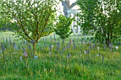 MORTON HALL, WORCESTERSHIRE: THE MEADOW IN SPRING WITH WILDFLOWERS, CAMASSIA LEICHTLINII CAERULEA, CAMASSIA BLUE HEAVEN, DAWN, SUNRISE, MEADOWS, PARKLAND