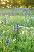MORTON HALL, WORCESTERSHIRE: THE MEADOW IN SPRING WITH WILDFLOWERS, CAMASSIA LEICHTLINII CAERULEA, SUNRISE, MEADOWS, PARKLAND, BENCH, SEAT