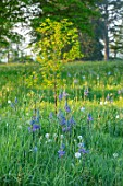MORTON HALL, WORCESTERSHIRE: THE MEADOW IN SPRING WITH WILDFLOWERS, CAMASSIA LEICHTLINII CAERULEA, DAWN, SUNRISE, MEADOWS, PARKLAND