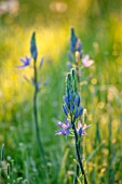 MORTON HALL, WORCESTERSHIRE: THE MEADOW IN SPRING WITH CAMASSIA LEICHTLINII CAERULEA, DAWN, SUNRISE, MEADOWS, PARKLAND