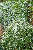 MORTON HALL, WORCESTERSHIRE: WHITE FLOWERS OF CLEMATIS BROUGHTON BRIDE AND CHOISYA X DEWITTEANA AZTEC PEARL. SHRUBS, CLIMBERS, WALLS
