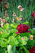 MORTON HALL, WORCESTERSHIRE: PLANT ASSOCIATION, COMBINATION OF GEUM OXFORD MARMALADE AND TULIPA UNCLE TOM