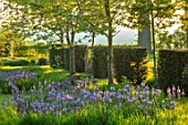 THE OLD VICARAGE, WORMLEIGHTON, WARWICKSHIRE: DESIGNER ANGEL COLLINS - LAWN WITH CAMASSIA LEICHTLINII SUBSP. SUKSDORFII CAERULEA GROUP, YEW HEDGES, HEDGING