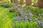 THE OLD VICARAGE, WORMLEIGHTON, WARWICKSHIRE: DESIGNER ANGEL COLLINS - LAWN WITH CAMASSIA CAERULEA, BLUE FLOWERS, MEADOW