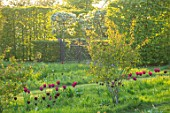 THE OLD VICARAGE, WORMLEIGHTON, WARWICKSHIRE: SPRING MEADOW WITH DARK PINK TULIPS. TULIPA BURGUNDY, BLACK JACK AND BLOSSOM, SPRING, APRIL, MEADOWS, NATURALIZED, EVENING LIGHT