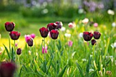 THE OLD VICARAGE, WORMLEIGHTON, WARWICKSHIRE: DESIGNER ANGEL COLLINS - LAWN WITH TULIPA BURGUNDY, MEADOWS, BULBS, APRIL, SPRING