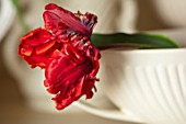 MARBURY HALL, SHROPSHIRE: DESIGNER SOFIE PATON-SMITH: RED PARROT TULIP IN VASE IN THE FLOWER ROOM. ARRANGEMENTS, CUTTING, GARDEN, CUT, FLOWERS, SPRING
