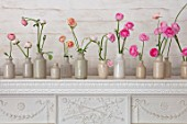 MARBURY HALL, SHROPSHIRE: DESIGNER SOFIE PATON-SMITH: WHITE FIREPLACE WITH STONEWARE BOTTLES OF RANUNCULUS. ARRANGEMENTS, STILL LIFE, SPRING, CUTTING, FLOWERS