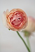 MARBURY HALL, SHROPSHIRE: DESIGNER SOFIE PATON-SMITH: PINK, APRICOT FLOWER OF RANUNCULUS. ARRANGEMENTS, STILL LIFE, SPRING, CUTTING, FLOWERS