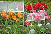 MARBURY HALL, SHROPSHIRE: DESIGNER SOFIE PATON-SMITH: PARROT TULIPS GROWING IN THE CUTTING GARDEN IN THE WALLED GARDEN. BULBS, SPRING, CLOCHES