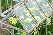 MARBURY HALL, SHROPSHIRE: DESIGNER SOFIE PATON-SMITH: TULIPA SPRING GREEN  GROWING IN THE CUTTING GARDEN IN THE WALLED GARDEN. BULBS, SPRING, CLOCHES