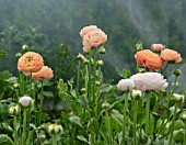 MARBURY HALL, SHROPSHIRE: DESIGNER SOFIE PATON-SMITH. RANUNCULUS GROWING IN A POLYTUNNEL