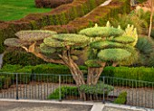 RADICEPURA GARDEN FESTIVAL, SICILY, ITALY: CLIPPED TOPIARY OLIVE TREE, OLEA EUROPAEA, EUROPEAN OLIVE, SILVERY, GREY, GREEN, LEAVES, FOLIAGE, TREES