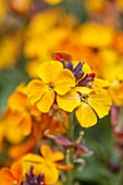 CLOSE UP PLANT PORTRAIT OF THE YELLOW, ORANGE, FLOWERS OF WALLFLOWER, ERYSIMUM RYSI COPPER. WALLFLOWERS, CHEIRANTHUS, BIENNIALS