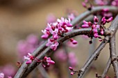 CLOSE UP PLANT PORTRAIT OF THE PINK FLOWERS OF CERCIS CANADENSIS RUBY FALLS. CORNUS, DOGWOODS, TREES
