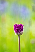 MORTON HALL, WORCESTERSHIRE: CLOSE UP PORTRAIT OF PURPLE FLOWER OF ALLIUM HOLLANDICUM PURPLE SENSATION. BULBS, ALLIUMS, FLOWERING, ORNAMENTAL, SPRING, PERENNIALS