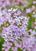 MORTON HALL, WORCESTERSHIRE: CLOSE UP PORTRAIT OF PALE LILAC FLOWERS OF SYRINGA X PERSICA. PERSIAN LILAC, FLOWERING, SPRING, SHRUBS, SCENTED, FRAGRANT, AGM