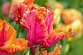 MORTON HALL, WORCESTERSHIRE: CLOSE UP PORTRAIT OF THE ORANGE PARROT TULIP - TULIPA AMAZING PARROT. SPRING, BULBS, TULIPS, PARROTS