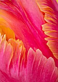 MORTON HALL, WORCESTERSHIRE: CLOSE UP PORTRAIT OF THE ORANGE PARROT TULIP - TULIPA AMAZING PARROT. SPRING, BULBS, TULIPS, PARROTS, ABSTRACT